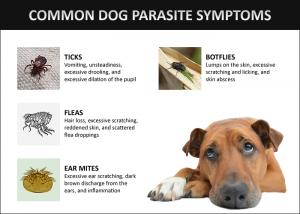 Common Dog Parasite Symptoms